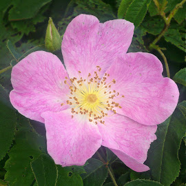 Wild rose by Helena Moravusova - Flowers Single Flower ( spring, pink, nature, flower )