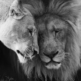 Intimate by Jasper Van Zyl - Animals Lions, Tigers & Big Cats ( love, peaceful, nature, wildlife, lions,  )