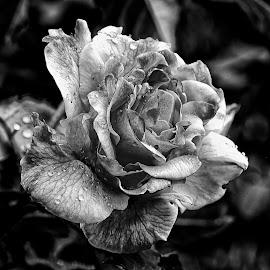 Black rose by Gérard CHATENET - Black & White Macro