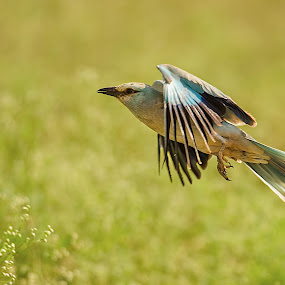 Eu Roller by Srikanth Iyengar - Animals Birds ( roller, flight, european, srikanth, iyengar )
