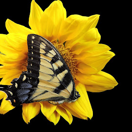 Nesting by Melissa Davis - Animals Insects & Spiders ( butterfly, butterflies, sunflower, flowers, napping )