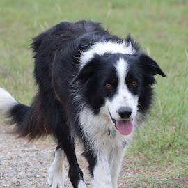 Border Collie by Holly Dolezalik - Animals - Dogs Portraits ( border collie, pure bred, dog, working breed, animal )