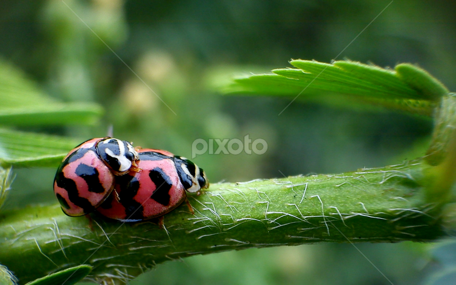 Fun Time by Adnan Hidayat Prihastomo - Instagram & Mobile Other ( macro, red, ladybugs, mating, insects )