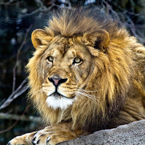 Majestic Lion by Amber Johnston - Animals Other Mammals