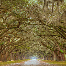 Live Oak Lane by Pam Wendel - Nature Up Close Trees & Bushes
