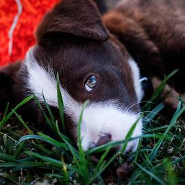 Rodolfo by Mariana Costa - Animals - Dogs Puppies ( rodolfo, dog, portugal )