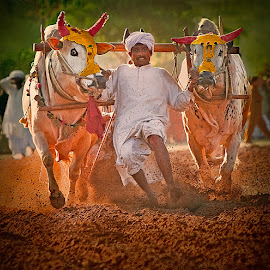 Taking The Bull By The Horns by Nayyer Reza - Sports & Fitness Other Sports ( bull race, two bulls, village sport, color, racing sport, nayyer, man & bulls, reza, , animal, motion, animals in motion, pwc76 )