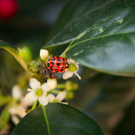 Ladybug by Barry Blaisdell - Animals Insects & Spiders ( spots, nature, colorful, bug, ladybug, leaves, insect, flower )