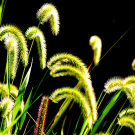 Some Grasses are Green by Leah Zisserson - Nature Up Close Leaves & Grasses ( backlit, grass, green, virginia, seeds, light )