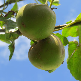 Young Apples by Angie Keverne - Food & Drink Fruits & Vegetables ( garden;green, fruit, tree, apples )