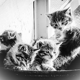 Waiting for breakfast.... by Barbara Olstad - Animals - Cats Kittens