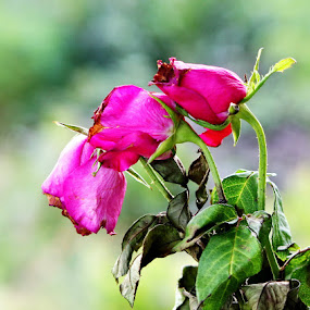 growing old together by Lolit Cabilis - Nature Up Close Flowers - 2011-2013 ( roses, flowers )