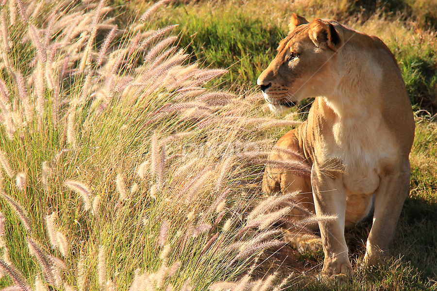 by Philip McKibbin - Animals Other Mammals ( predator, afternoon, lioness, grass, bush, golden, sun )