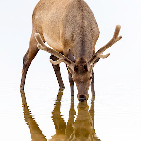 Bull Elk Reflection by Jerry Alt - Animals Other Mammals ( water, yellowstone, antler, elk, bull, pond, reflect )