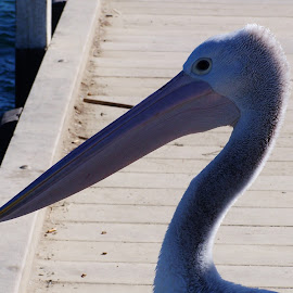 Pelican by Sarah Harding - Novices Only Wildlife ( bird, nature, novices only, wildlife, animal )
