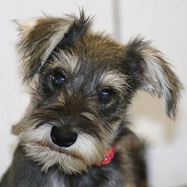 Lottie by Chrissie Barrow - Animals - Dogs Portraits ( pup, white, rough, portrait, eyes, miniature, pet, ears, fur, grey, puppy, dog, nose, mini, schnauzer miniature )