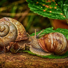 Slow Date by Marco Bertamé - Animals Other ( love, escargot, green, meeting, brown, leaf, slow, date, snail, grapewine snail,  )