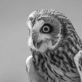 Owl by Garry Chisholm - Black & White Animals ( raptor, owl, bird of prey, bird photography, garry chisholm )