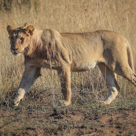Lion by Dirk Luus - Animals Lions, Tigers & Big Cats ( predator, lion, animals, nature, wildlife )
