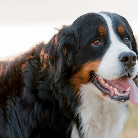 Happy Berneee by Lizzy MacGregor Crongeyer - Animals - Dogs Portraits ( canine, countryside, tongue, happy, bernese, best friend, dog, outside )