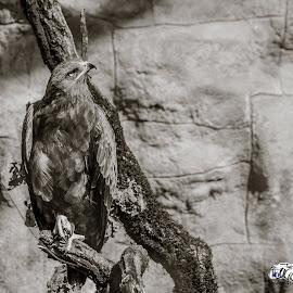 Wild eagle by Aldea George - Black & White Animals ( wild, transilvania, eagle, black and white, dracula )