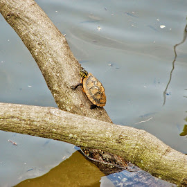 Sunning Turtle by Christina McGeorge - Animals Amphibians