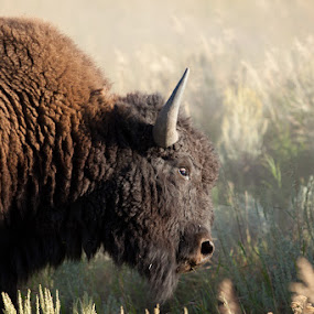 Angry Bull by Melanie Kern-Favilla - Animals Other Mammals ( scary, buffalo, gtnp, horns, park, bison, bull, grand teton national park )