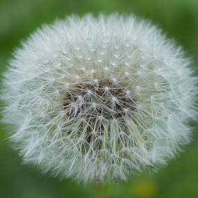 Seed of Dandelion, Taraxacum by Vinchel Budihardjo - Nature Up Close Flowers - 2011-2013
