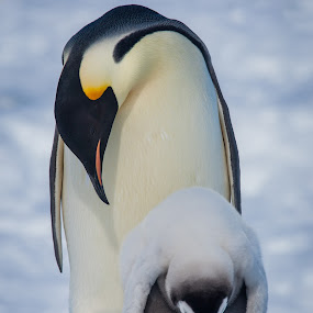 Emperor Penguin and Chick by Steve Bulford - Animals Birds ( dad, wildlife, parent, feathers, cute, mum, young, mom, bird, snow hill island, love, chick, cold, steve bulford, mother, farther, happy, snow, emperor penguin,  )