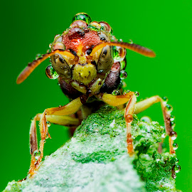 Wasp --- Ropalidia sp by Carrot Lim - Animals Insects & Spiders ( colour, macro, wasp, water droplet, ropalidia )
