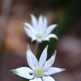 Flannel flower by Amanda Daly - Flowers Flowers in the Wild