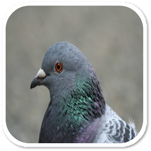 Pigeon Sounds