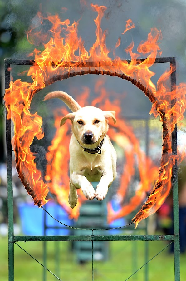 War Dog by Syafizul  Abdullah - Animals - Dogs Running