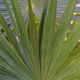 Palm Fronds by Vonelle Swanson - Nature Up Close Other plants