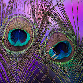 Peacock Feather beauty by Rakesh Syal - Artistic Objects Other Objects (  )