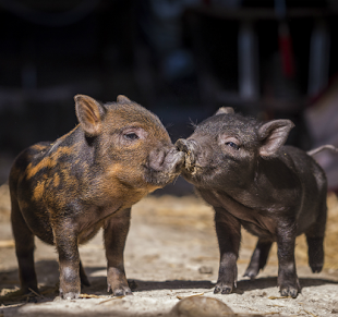 Kissing piglets at Mares Farm, Old Amersham