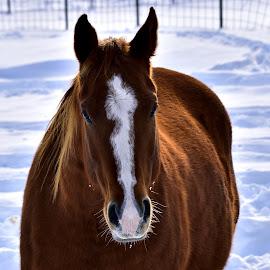 Face by Gosia Lukowiak - Animals Horses ( animals, winter, horses, snow, portrait,  )