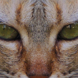 Cat Face by Mohamed Mehrez - Animals - Cats Portraits ( look, face, cat, angry, portrait, eyes, animal )
