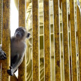monkey by Woo Yuen Foo - Animals Other