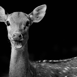 B&W deer by Francois Wolfaardt - Black & White Animals ( b&w, nature, mouth, ears, mamal, close-up, animal, deer )