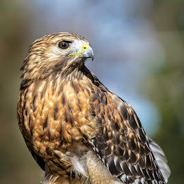 Hawk by Carol Plummer - Animals Birds