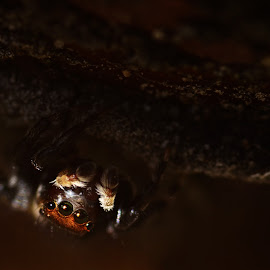 Jumping spider by Yani Dubin - Animals Insects & Spiders
