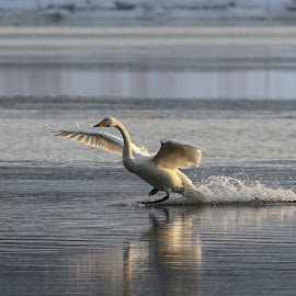 Whooper swan landing by Lillian Knutsen Aspås - Animals Birds ( swans, whooper swan, big birds, white birds, cygnus cygnus )