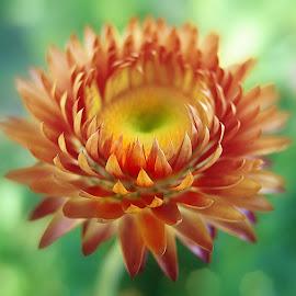 by Ksenija Glavak - Flowers Single Flower