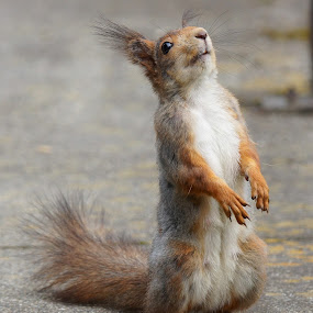 Whassup! by Hans Olav Beck - Animals Other Mammals ( looking up, squirrel )
