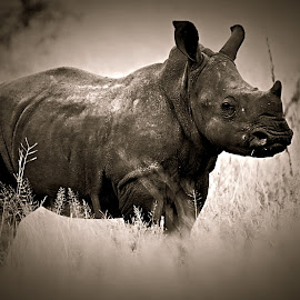 Baby Rhino by Pieter J de Villiers - Black & White Animals