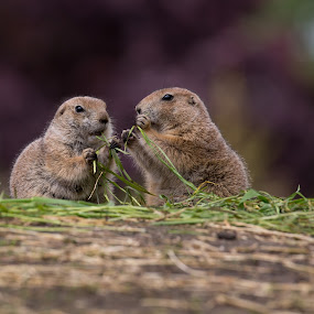 Smaltalk by Jürgen Sprengart - Animals Other ( zoo, prairiedogs, nordhorn, eating )