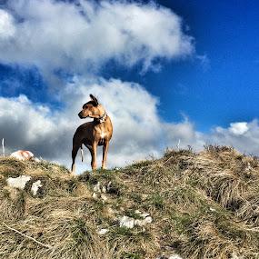 by Ivana Tilosanec - Animals - Dogs Portraits ( clouds, rhodesian ridgeback, dogs, mountain, croatia, dog portrait, spring, ridgeback, blue sky, nature, pet, bjelolasica, pets, dog portraits, dog, top,  )