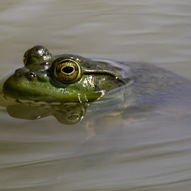 Got my eye on you by Jim Talbert - Animals Amphibians ( animals, nature, bullfrog, frog, wildlife, amphibians, nebraska )
