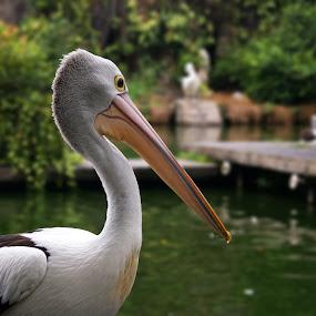 Pelican by Mulawardi Sutanto - Animals Birds ( water, bird, zoo, jakarta, pelican )